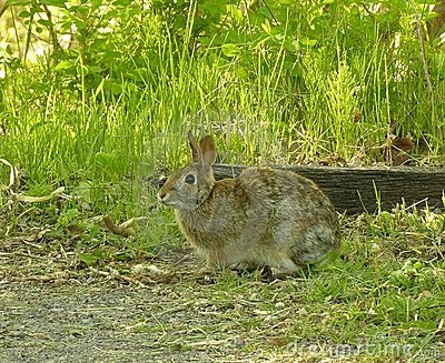Cottontail Rabbit 2