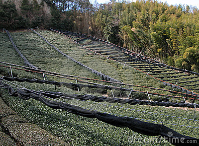 Tea field and bamboo forest