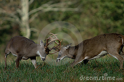 Whitetail deer fighting