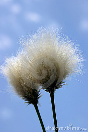 Cotton grass seedhead