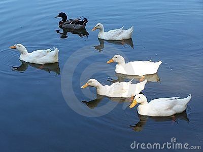 Ducks in blue water