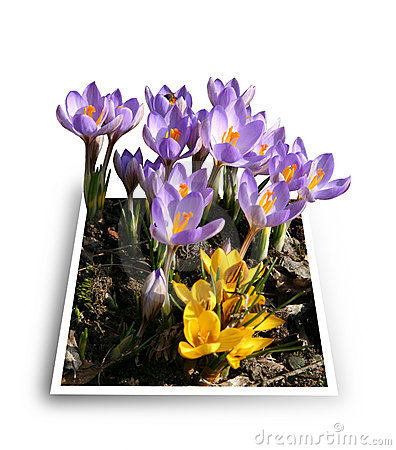 Spring Flowers - Crocuses