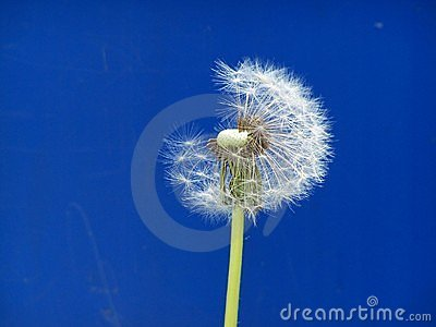 Dandelion captured in time