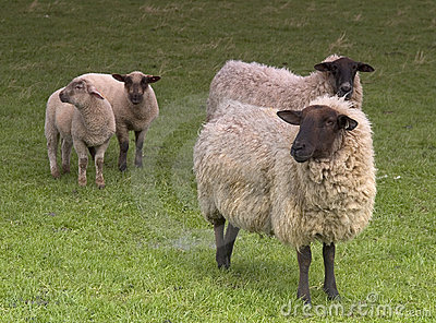 Four Sheep