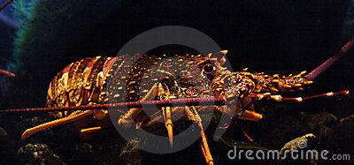 Spiny Rock Lobster