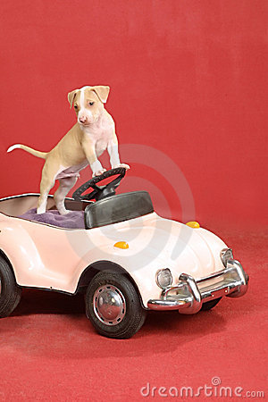 Pit bull puppy at the wheel