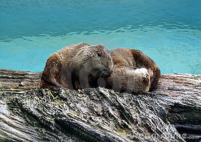 North American Otters 2