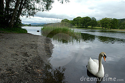 Swan on Elter Water