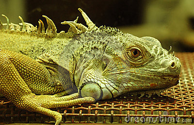 Beautiful iguana.