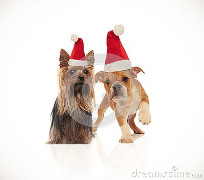 lovely yorkshire terrier and english bulldog couple wearing santa hats