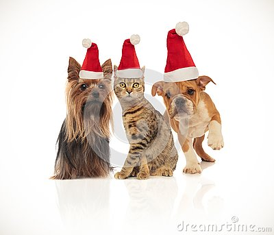 Team of three cute christmas pets wearing santa hats