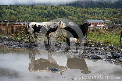 Mountain cows with gleam in the pool