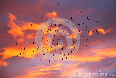 Storm of birds at sunset, orange clouds