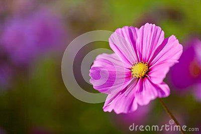 A pretty pink cosmos flower with shallow depth of field