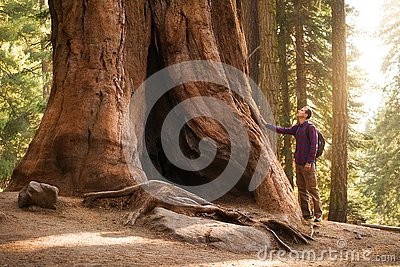 Hiker man in Sequoia National Park. Traveler male looking at the giant sequoia tree, California, USA