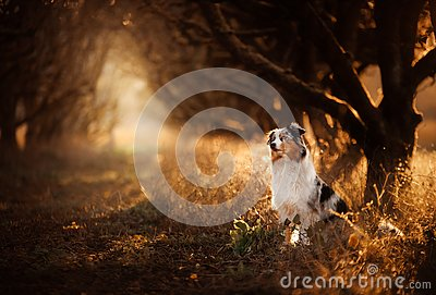 Dog on the footpath. Mystical place, trees. Australian Shepherd in nature