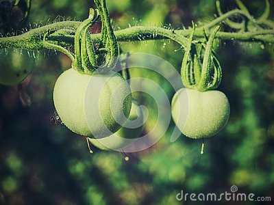 Fresh unripe green tomatoes hanging on the vine of a tomato plant