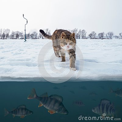 Cat fisherman on snowy ice at lake above troop of perch fish. Winter ice fishing background.
