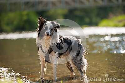 Border colie dog at the river