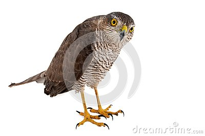 Birds of prey - Eurasian Sparrowhawk Accipiter nisus female. Isolated on white