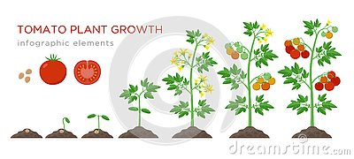 Tomato plant growth stages infographic elements in flat design. Planting process of tomato from seeds sprout to ripe