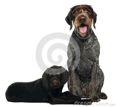 German shorthaired pointer puppy, 3 months old, sitting in front of white background and 6 years old