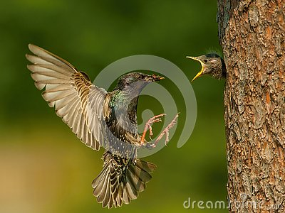 The Common Starling, Sturnus vulgaris is flying with some insect to feed its chick