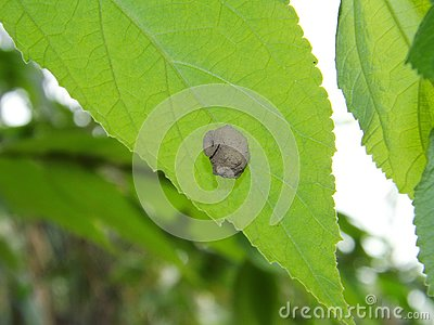 A nest is being built behind a green leaf