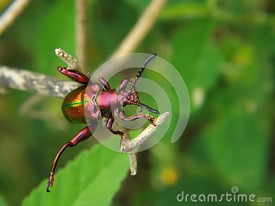 purple beetle perched on a branch