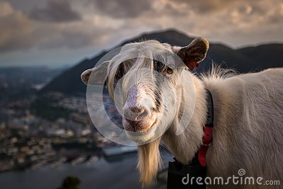 Portrait of A Farm Goat on Mountain at Sunset