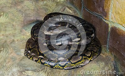 Coiled up reticulated python worlds longest snake there is, a dangerous big constrictor and predator that is even capable of