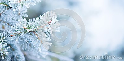 Christmas holiday tree. Winter snow background. Blue spruce, beautiful Christmas and New Year Xmas tree art design