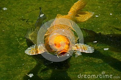 Koi carp or, more precisely, brocade carp-decorative domesticated fish derived from the Amur subspecies of carp.