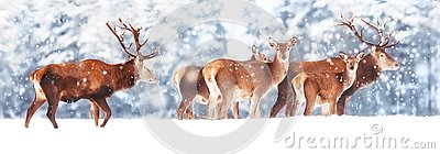 A noble deer with females in the herd against the background of a beautiful winter snow forest. Artistic winter landscape.
