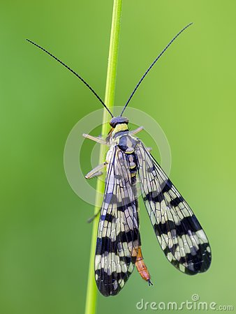 Common Scorpionfly sit on bent