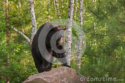 Adult Female Black Bear Ursus americanus Stands on Rock Lookin