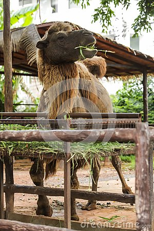 Bactrian camel has two humps for storing fat converted to water and energy when sustenance not available. These give camels abilit