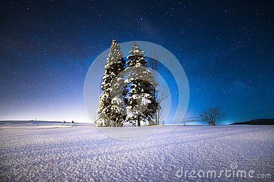 Starry winter night. Christmas trees on a snowy field under the starry winter sky.