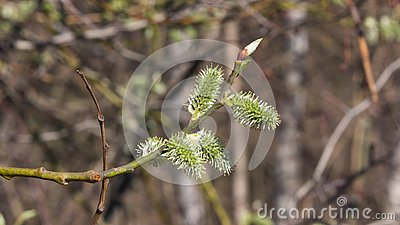 Branch of blossoming willow with catkins on bokeh background, selective focus, shallow DOF