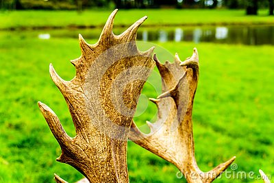 Close Up of the Antlers of a Fallow Deer