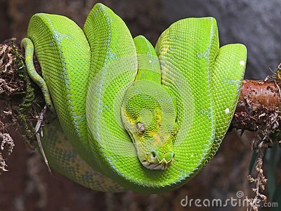 Emerald Tree Boa from South America. Exotic snake wrapped in a ball