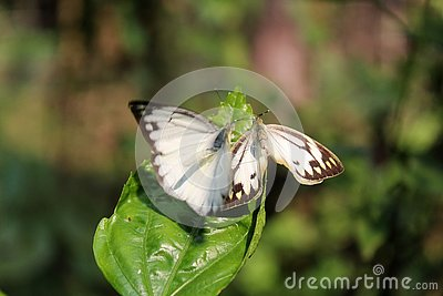 Butterfly couple mating in nature.beautiful stripped Pioneer White or Indian Caper White butterflies intercourse pairing in nature