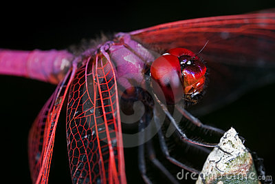 Male crimson dropwing