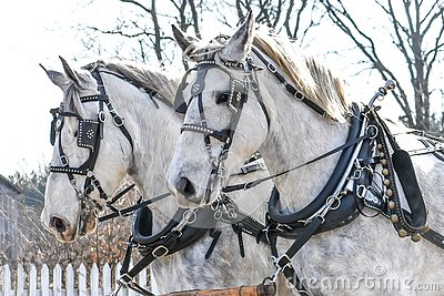 Two White Horses with Black Carriage Harnesses