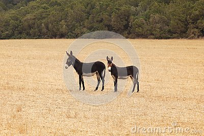 stock image of two wild donkeys on harvested field. undomesticated animals are often seen in karpass region of northern cyprus
