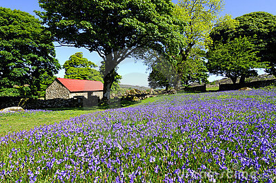 Bluebells and red roofed barn
