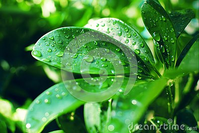 Schefflera arboricola smooth thick green leaves covered with raindrops in the sunlight