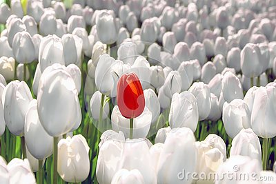 Alone red tulip in a field of white, the concept is unique, special, rare