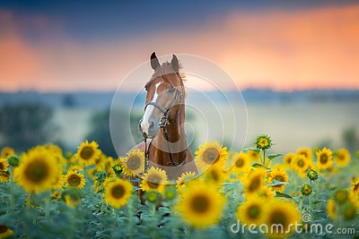 Horse on sunflowers