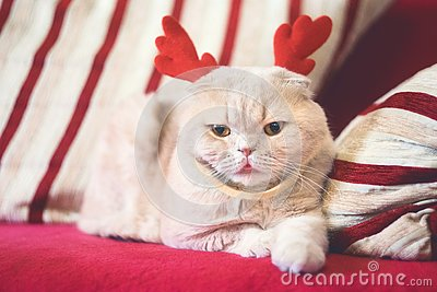 Cute Scottish Fold cat with reindeer Christmas horns. Cream cat dressed as reindeer Rudolph. Christmas animals